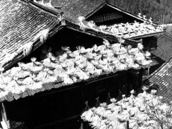 (1998年、苗、红水乡)金秋时节,苗家木楼屋顶也是晾晒稻谷的处所,成为一道独特的风景线