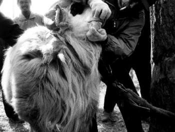 砀山斗羊2