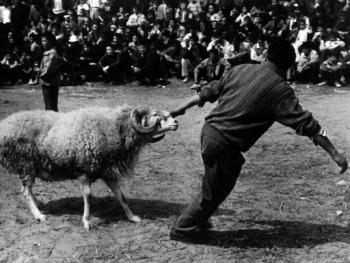砀山斗羊5