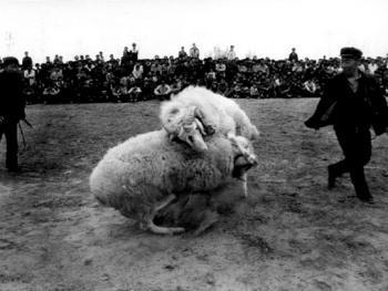 砀山斗羊8