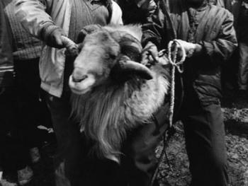 砀山斗羊9