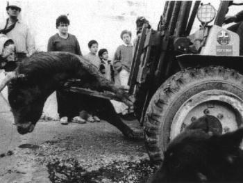 9.斗牛被装上铲车运到当地的屠宰场。