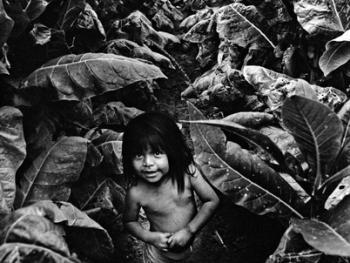 收烟草的印第安工人