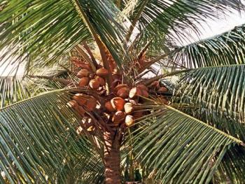 椰子壳的纤维加工工艺