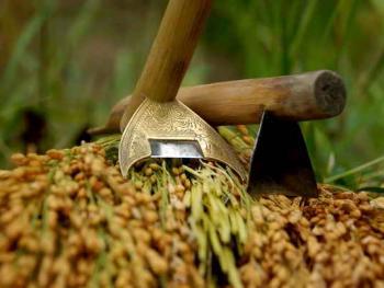 侗族的糯禾收获