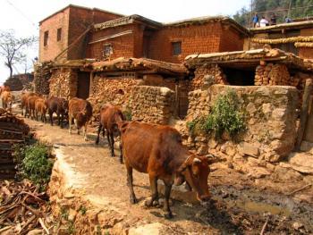 11.家家户户养耕牛是丕且莫彝民的传统