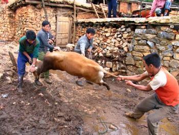 彝族端午节集中骟牛