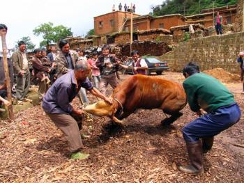 9.骟牛就在村里空地上进行