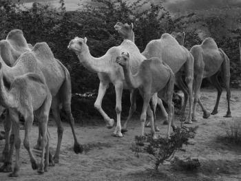 普什卡骆驼节01