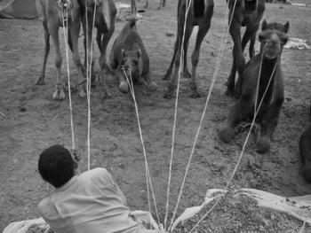 普什卡骆驼节03