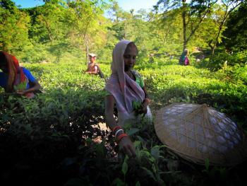 孟加拉的采茶女03