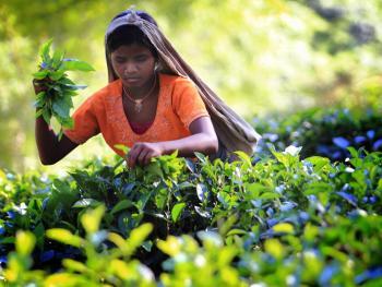 孟加拉的采茶女06