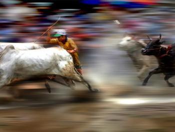越南安江的赛牛节11