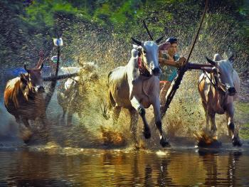 越南安江的赛牛节