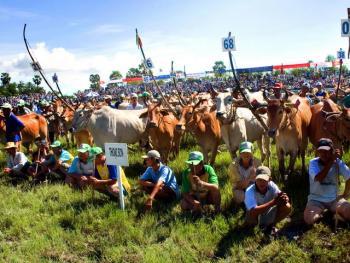 越南安江的赛牛节01