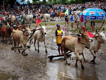 越南安江的赛牛节02