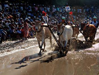 越南安江的赛牛节04