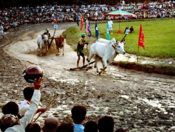 越南安江的赛牛节06