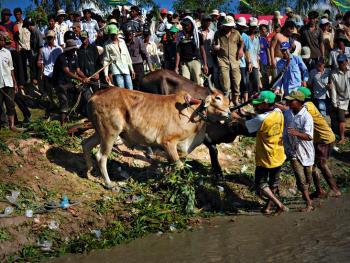 越南安江的赛牛节08