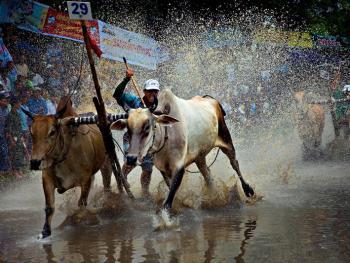 越南安江的赛牛节09