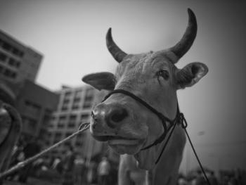 孟加拉宰牲节08