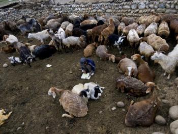我的羊群我的家08