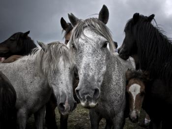 加利西亚的捕野马02