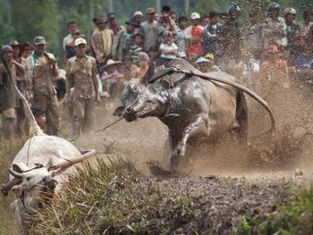 苏门答腊赛牛节10