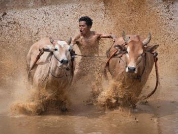 苏门答腊赛牛节01