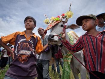 苏门答腊赛牛节03