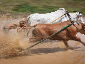 苏门答腊赛牛节09