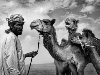 阿联酋的骆驼节
