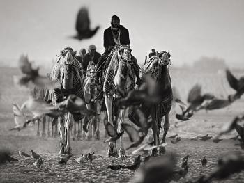 阿联酋的骆驼节BP05