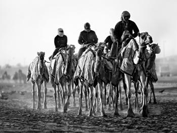 阿联酋的骆驼节BP09