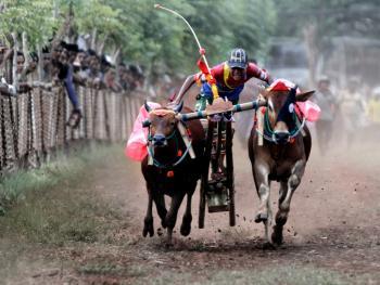 印尼赛牛1