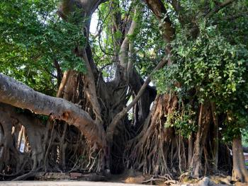 孟加拉妇女的榕树崇拜