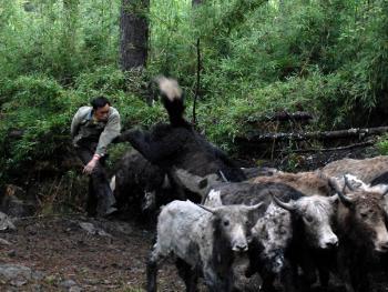 硗碛藏族剪牛毛11