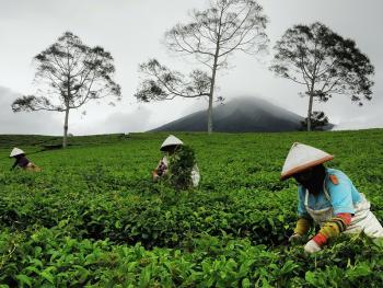 帕加拉兰的采茶女09