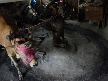 榨芥子油的传统工艺