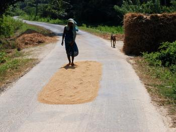 印度的水稻种植10