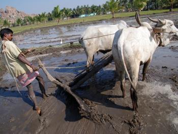 印度的水稻种植