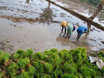 印度的水稻种植02