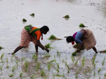 印度的水稻种植03