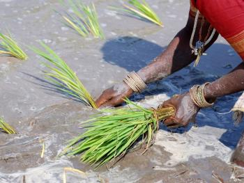 印度的水稻种植04