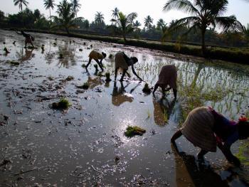 印度的水稻种植05