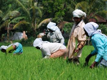 印度的水稻种植07