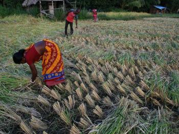 印度的水稻种植08