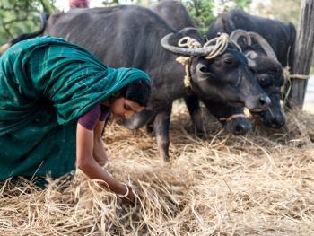 印度的水稻种植09