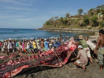 拉玛莱拉传统捕鲸10