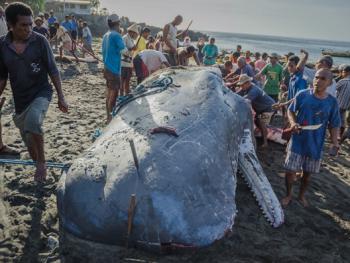 拉玛莱拉传统捕鲸09